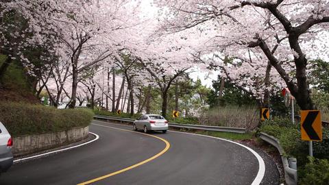 Korea Cherry Blossoms 1