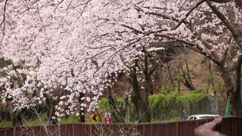 Korea Cherry Blossoms 2