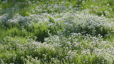 Green Grass with Blue Flowers Background Footage