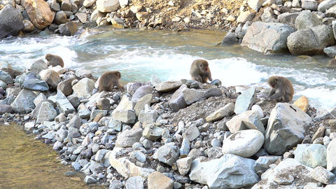 Japanese macaques Live Action