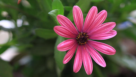 Osteospermum daisy or cape rain daisy, Summertime flowers. Pretty pink african Footage