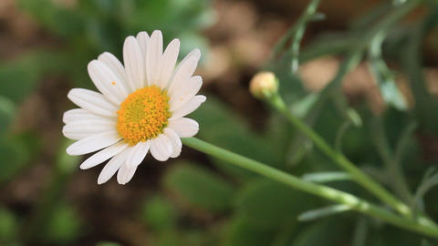 Camomile flowers. Floral background with daisies. Close-Up of spring flowers in Footage