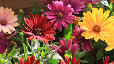 Colorful flowerbed. Solitary African Daisy flowers at the garden GIF
