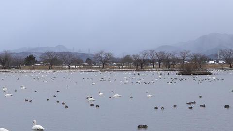 瓢湖の白鳥 ライブ動画