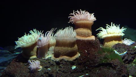 Sea anemone Footage