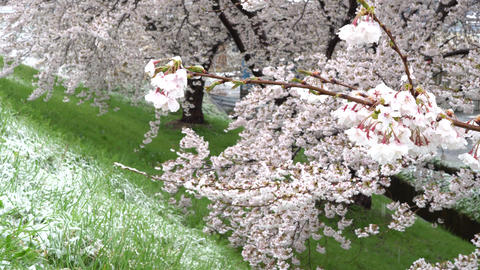 Cherry tree in full bloom Live Action