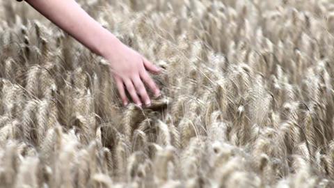 A Boy Hand Stroking Wheat Archivo