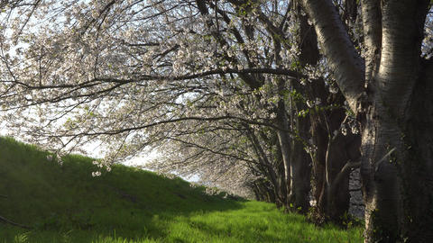 Cherry tree in full bloom Footage