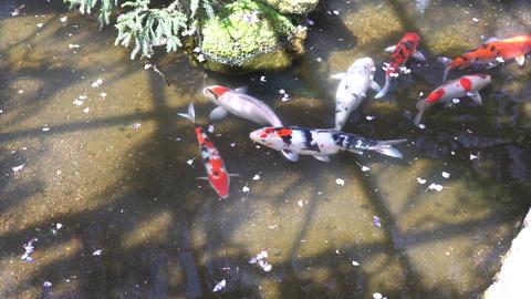 藤の花びらと鯉 ビデオ