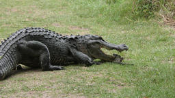 mother alligator protects her baby Footage