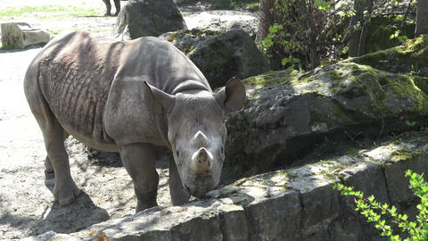 Rhinoceros (Diceros bicornis) with large horns Live Action
