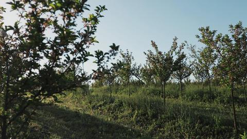 apple garden blossom Footage