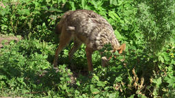 Hungry jackal sniffing bushes in forest. Two golden wolves hunting in national Footage