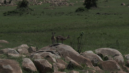 Klipspringer Couple On Rocks stock footage