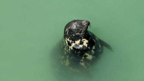 Seal in Newquay harbour Cornwall England Footage