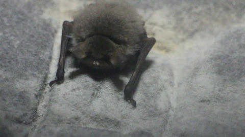 Spawn of devil. Fat disgusting bat frantically breathes in dark cave Live Action