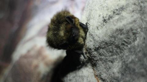Bat - it looks unpleasant, but harmless animal Footage