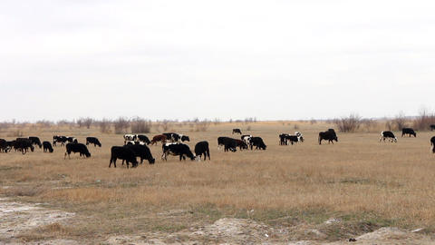 Herd of cattle with large number of calves on grazing in forest-steppe zone of K Footage