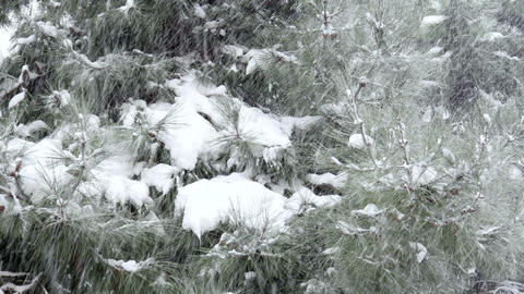 Snowy Day, Snow On Pine Tree stock footage
