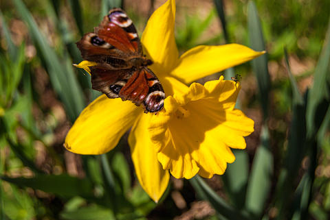 Yellow Narcissus flower, bright butterfly and spider フォト