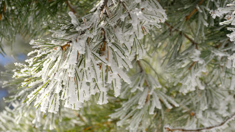 Pine branches with frost Footage