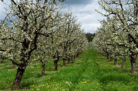 Abundant spring blossom in manicured plum tree orchards near Villeneuve-sur-Lot Photo