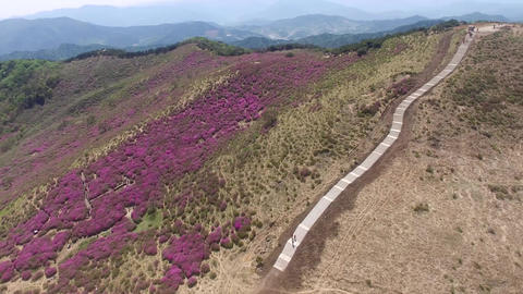 151Z Cheoljjuk Royal Azalea Festival in Hapcheon Hwangmae Mountain 04 Footage