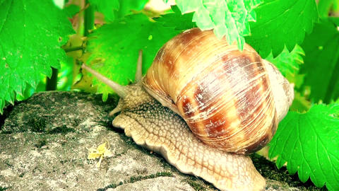 Snail is moving slow on stones 영상물