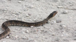 Banded Water Snake crossing Footage