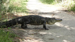 large alligator on a trail Footage