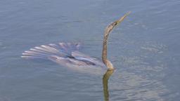 Anhinga swims under water Footage