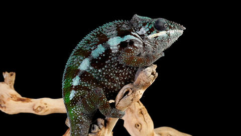 Panther Chameleon Looking Around Live Action