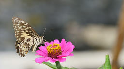 Butterfly feeding on flower Live Action
