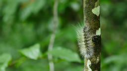 Caterpillar walk on tree in forest, Thailand Live Action