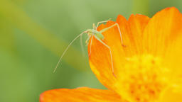 Cricket on orange flower Live Action
