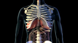Male LUNGS HEART BRONCHUS medical scan anatomy- 3D Medical Animatio Footage