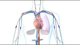 Circulatory system anatomy Footage