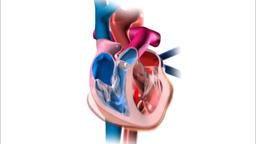 Functioning of human heart 3d illustration Animation