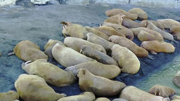 Walruses pinniped mammals in cold water of Arctic Ocean copter aero view Footage