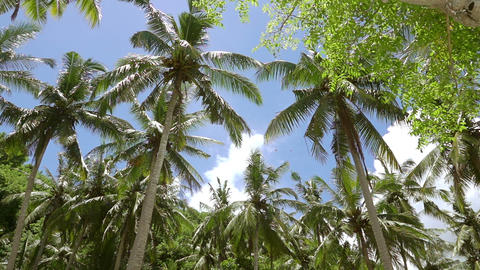 Upper Branches of Palm Trees against the Blue Sky. Shooting from the Bottom Footage