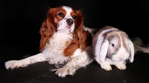 Animal pet friends. Animals resting together. Pets in the studio. Lop rabbit and Live Action