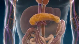 The digestive system Animation