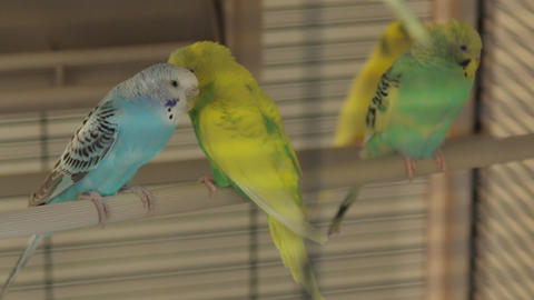 The Rests Parrots the Cage Live Action