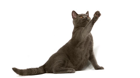 Chartreux Domestic Cat, Male Playing against White Background, Slow Motion Live Action