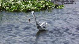 immature Little Blue Heron fishing Footage