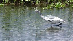 immature little blue heron Footage