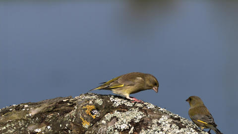 European Greenfinch, carduelis chloris, Adult in Defensive Posture, Ejecting Seeds from its Beak, Live Action