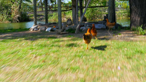 chasing chicken cock outdoor, funny running following Footage