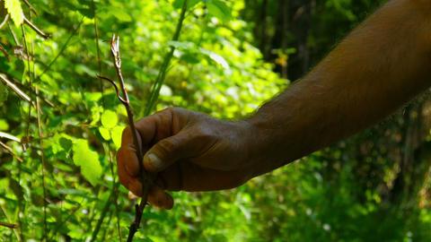 silcan dilkisen herb plant, alternative medicine, stomach cancer Live Action