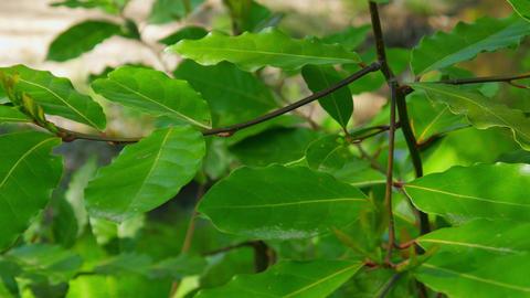 laurel herbs in forest Footage